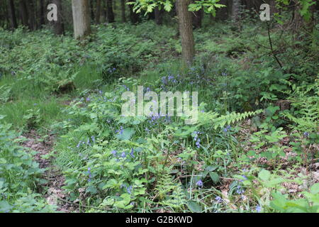 Ancient  coppiced woodland  with path and wild flowers - Stock Photo