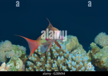Sea goldie,  Lyretail coralfish,  Lyretail anthias, Orange butterfly perch, Orange basslet  (Pseudanthias squamipinnis) - Stock Photo