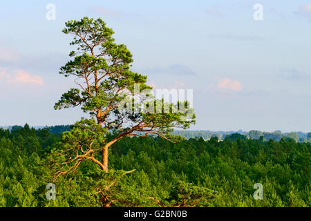Aerial landscape with pine forest growing in Pomerania, northern Poland. Top part of single tall pine tree in the - Stock Photo