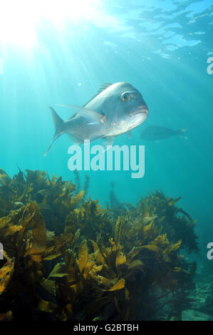 Snapper above kelp forest in shallow water lit by sun rays. - Stock Photo