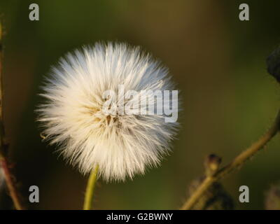 withered dandelion - Stock Photo