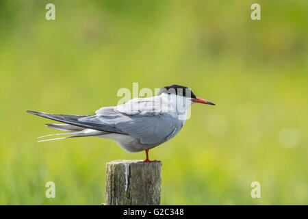 Common tern (Sterna hirundo) perched on a post. - Stock Photo