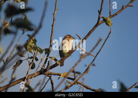The ubiquitous house sparrow (Passer domesticus) on a tree branch early in the morning - Stock Photo