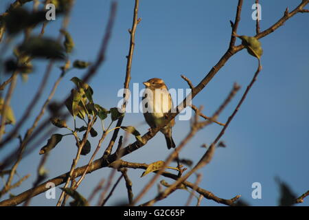A house sparrow (Passer domesticus) stopping by to perch on a branch - Stock Photo