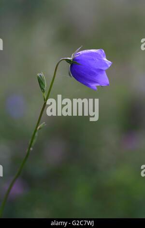 Close up of a bellflower, Dalarna, Sweden - Stock Photo