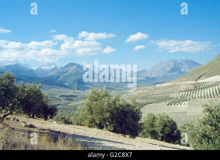 Olive groves. Sierra Magina Nature Reserve, Jaen province, Andalucia, Spain. - Stock Photo