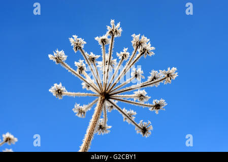 Frost-Covered Stalk Umbel or Umbellifer of Giant Hogweed Creating Frosty Pattern Against Blue Sky - Stock Photo