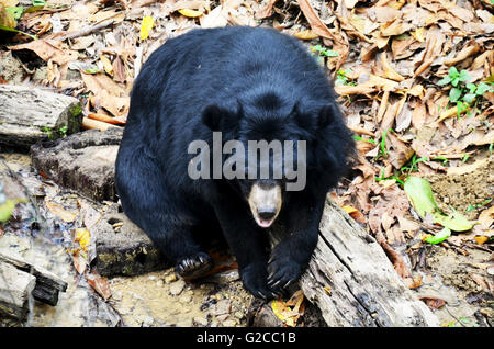 Motion of Asian black bear, asiatic black bear, Tibetan black bear,Himalayan black bear or moon bear relax at forest - Stock Photo