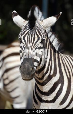 Portrait of Burchell's Zebra (Equus quagga burchellii) - Stock Photo