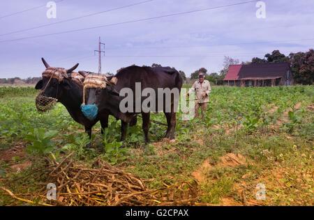 Tobacco farmer with oxen, Pinar del Rio, Cuba - Stock Photo