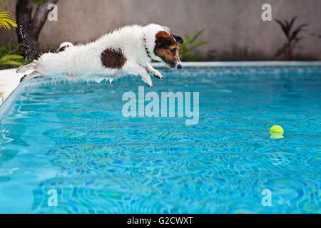 Playful jack russell terrier puppy in swimming pool has fun - dog jump and dive underwater to retrieve ball. - Stock Photo