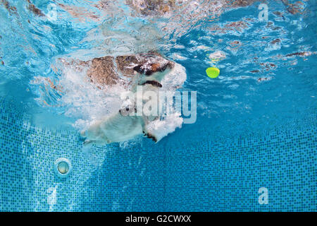 Playful jack russell terrier puppy in swimming pool training with fun - dog jump and dive underwater to retrieve - Stock Photo