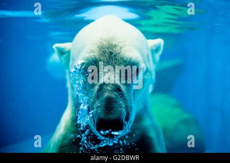 Polar Bear Exhaling Underwater - Stock Photo