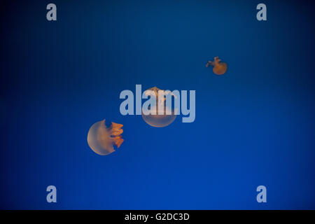 Jellyfish and Blue Water, Osaka Aquarium, Japan - Stock Photo