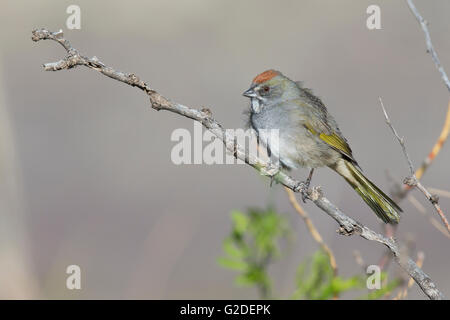 Green-tailed Towhee (Pipilo chlorurus) Stock Photo