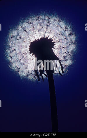 Dandelion and Seeds, Low Angle View, Silhouette - Stock Photo