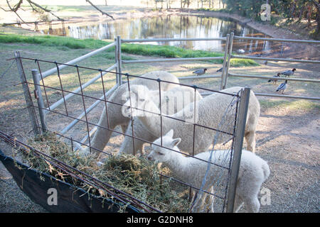 Alpaca animals on a farm in new south wales,australia