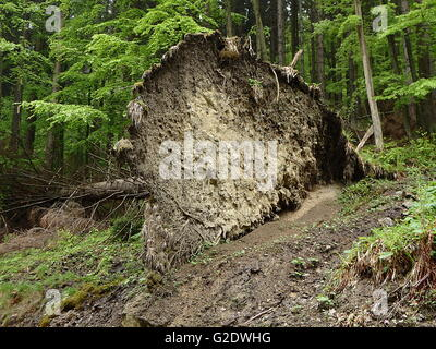 roots of an uprooted tree, fallen Spruce tree - Stock Photo