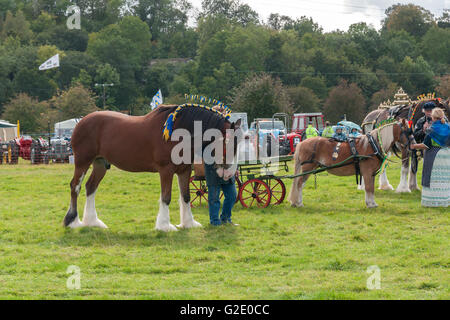Shire horse and ponies on display at the Rhug Estate country fair in Corwen North Wales - Stock Photo