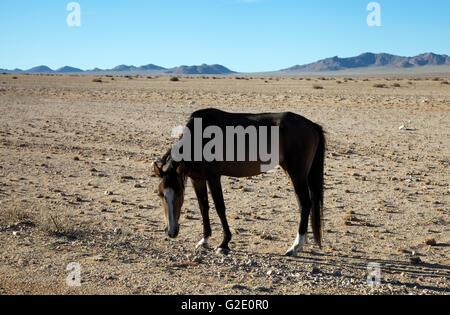 Wild Desert Horses of Garub Plains in Aus , Namibia - Stock Photo