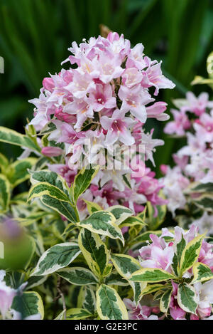 Weigela Praecox Variegata - Stock Photo
