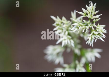 Luzula nivea Woodrush - Stock Photo