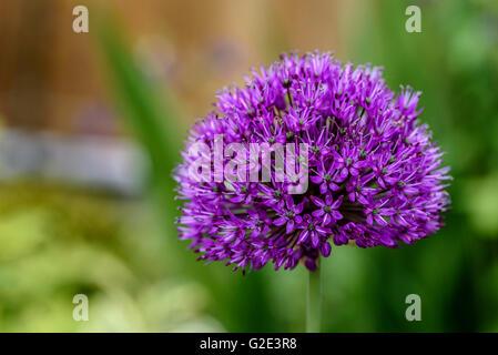 Allium hollandicum Purple Sensation, Dutch garlic - Stock Photo