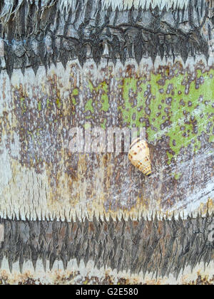 a small snail on a tree trunk of a palm tree in St Bart's - Stock Photo
