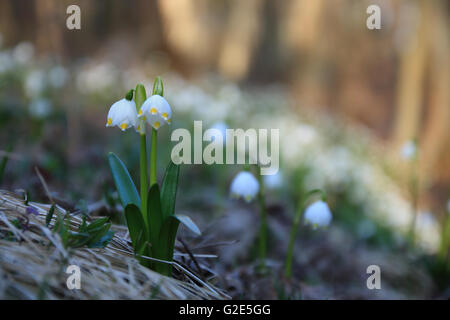 Photo of Leucojum Vernum in  the spring forest in sunny day - Stock Photo
