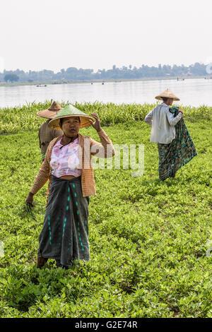 Women - farmers are working on field. Amarapura, Mandalay, Burma, Myanmar, Asia, South Asia