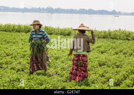 Women - farmers are working on field. Mandalay, Burma, Myanmar, Asia, South Asia