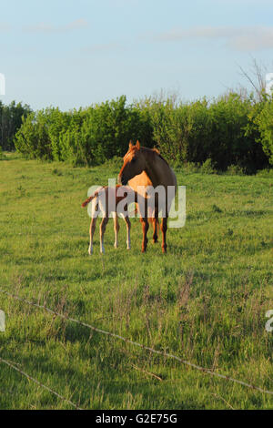 A foal and mare (Equus ferus caballus) in Alberta, Canada - Stock Photo