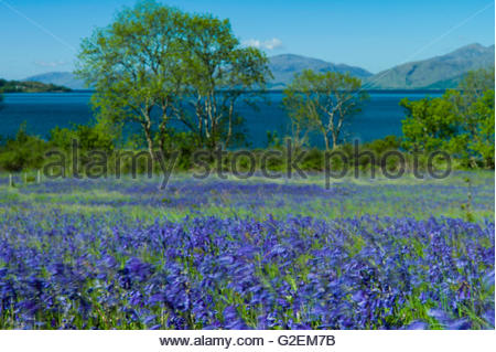 North Ballachulish, Fort William, Scotland, UK. 30th May 2016. Looking east across a landscape of bluebells and - Stock Photo