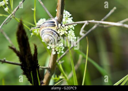 White lipped snail cepaea hortensis - Stock Photo