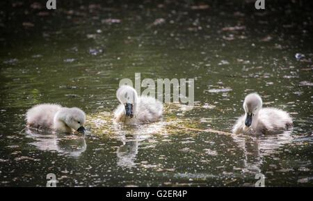 Three cygnets on lake eating water plant - Stock Photo