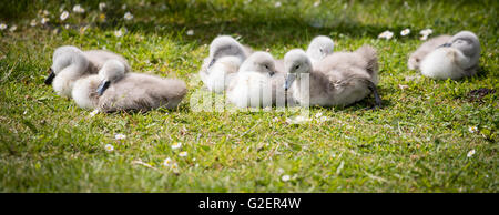 seven cygnets on edge of lake sleeping in the sunshine - Stock Photo