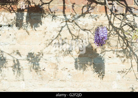 Wisteria shadows on a wall. Oxfordshire, UK - Stock Photo