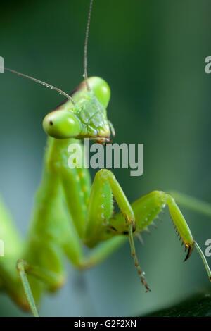 Young mantis. - Stock Photo