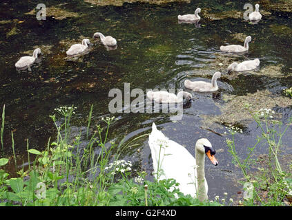 Mute swan with brood of cygnets on Grand Western Canal in Devon, England - Stock Photo