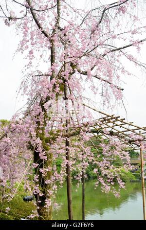 Cherry Blossom & LakeHeian Shrine - Stock Photo