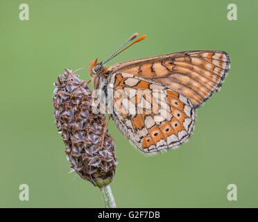 A marsh fritillary butterfly resting on a plant, at Strawberry Banks nature reserve in Gloucestershire, England. - Stock Photo