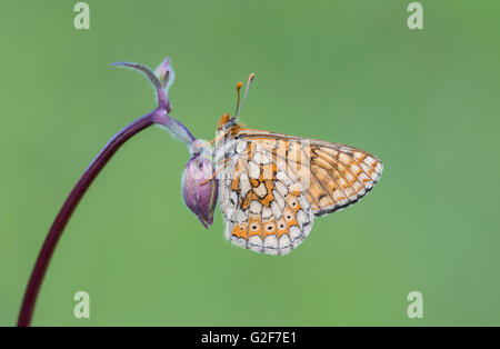 A marsh fritillary butterfly resting on a columbine flower, at Strawberry Banks nature reserve in Gloucestershire, - Stock Photo