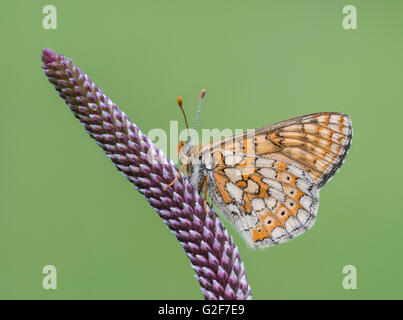 A marsh fritillary butterfly resting on a purple plant shoot, at Strawberry Banks nature reserve in Gloucestershire, - Stock Photo
