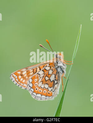 A marsh fritillary butterfly resting on a grass stem, at Strawberry Banks nature reserve in Gloucestershire, England. - Stock Photo