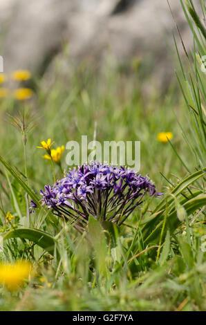 Peruvian Lily, Scilla peruviana in meadow in Andalusia, Spain. - Stock Photo