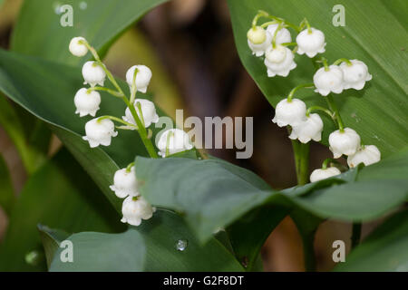 Waxy scented white flowers of the spring blooming lily of the stock waxy scented white flowers of the spring blooming lily of the valley convallaria majalis mightylinksfo