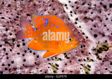 A juvenile garibaldi, the state fish of California, is characterized by its iridescent blue spots, which disappear - Stock Photo