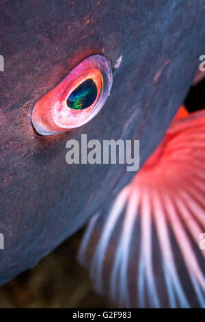 A close up of the eye of a sheepshead fish shows the detail and beauty of a wild aquatic animal - Stock Photo
