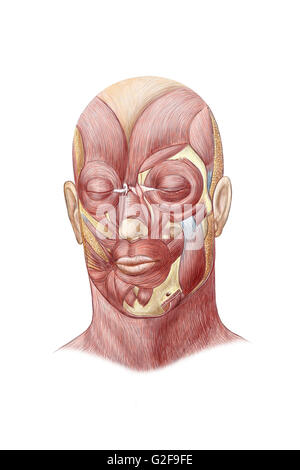 Anatomy front view of major face muscles of a woman Stock Photo ...