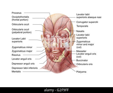 Facial muscles of the human face (with labels). - Stock Photo